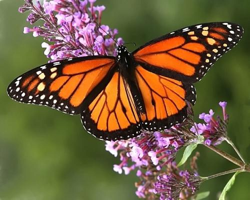 Un placer natural: los Santuarios de la Mariposa Monarca